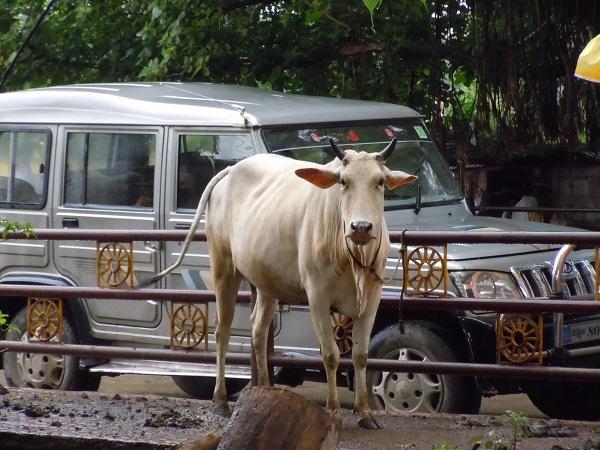 路上に鎮座する牛