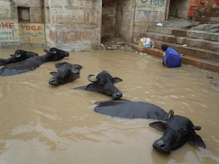 人間とともに沐浴を楽しむ牛
