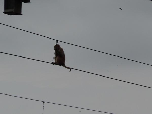 インドの駅の架線にぶら下がる猿
