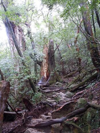 屋久島内の巨大な樹木