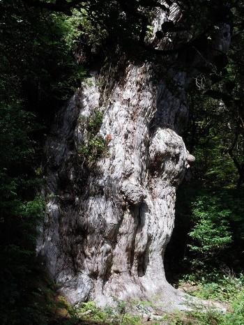 世界遺産の屋久島の縄文杉