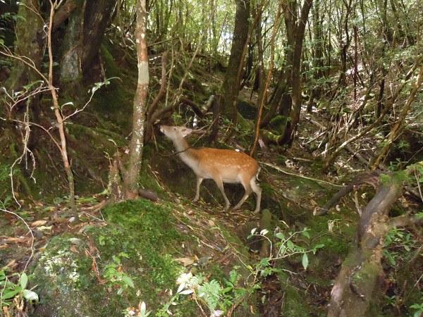 屋久島内に生息する鹿
